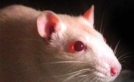 Las ratas son capaces de sentir empatía, según un estudio en EE UU