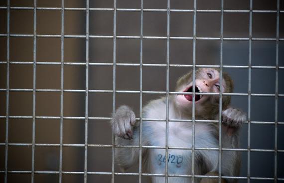 Centro de Investigación en Primates New England, anuncia cierre definitivo