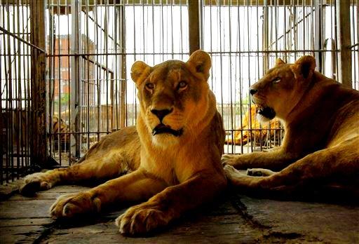 AnimaNaturalis denuncia la muerte de un león en el Circo Americano en Madrid