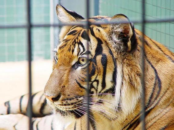 ¡Ontinyent prohíbe los circos con animales!