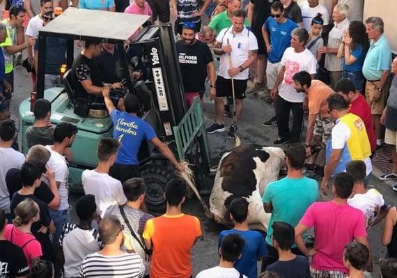 Un toro muere fulminado de un infarto en el último encierro de Poble Nou de Benitatxell