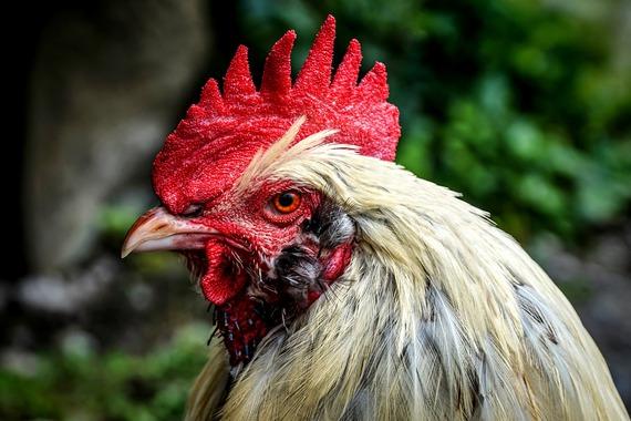 Antioquia prohíbe el uso de elementos que lastimen a los animales en corralejas y peleas de gallos
