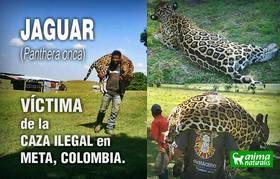 AnimaNaturalis denuncia caza ilegal del jaguar en el Meta ¡Hazlo tú también!