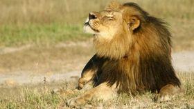 Muerte de león Cecil continúa haciendo noticia