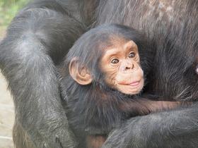Gran noticia: Estados Unidos le pone fin a investigaciones biomédicas con chimpancés