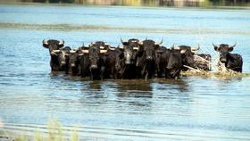 Nuestras propuestas para salvar toros salvajes de la Isla de Vinallop