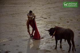 Animalistas celebran cancelación de corrida de toros en Inca